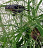 Chestnut-bellied Seedeater, Sporophila castaneiventris