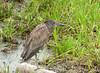 Guaco Manglero, Yellow-crowned Night-Heron (Nyctanassa violacea)