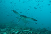 Aquile di Mare. Eagles Ray. (Aetobatus Narinari). (omar.flumignan) Tags: aetobatusnarinari eagleray aquiladimare maldive maldives cruise crociera mysachika bathalakanthila atollo atoll arinord northari vacanza holiday canon g7xmk2 fantasea fg7xmk2 ikelite ds51 flickrtravelaward