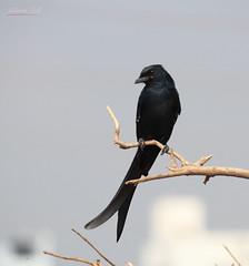 Black Drongo (DineshMunuswamy) Tags: canon canon1300d canonindia chennaiphotography omrroad blackdrongo bird