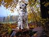 Herbst. (jens.steinbeisser) Tags: shisana deutschland olympusepl3 niedersachsen hund hundefotografie hundefotos hunderasse dalmatiner rawtherapee outdoor fujian35mm17
