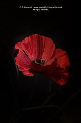 Remembrance poppy 1 (splendid_photography_UK) Tags: remembrance rememberance remember poppy red redpoppy isolation war memory