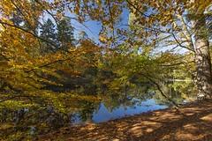 _T1A3598 Donoper Teich Beechtree zoom (idunavision) Tags: ostwestfalenlippe detmolddonoperteich forest pond beechtrees buchen canon leica olympus autumn fall herbst golden teich mushrooms fern