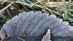 Autumn Frost (Kanemojo) Tags: macro floral outdoor 4k desktop