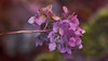 Autumn colors (flowerikka) Tags: autumn autumncolors bloom blossom bokeh flower green herbst hortensie lila nature pastell plants rain season