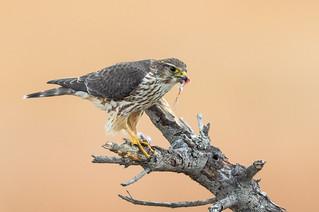 Merlin with prey (bird) X7A_8323-1