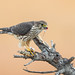Merlin with prey (bird) X7A_8323-1 (Eric SF) Tags: merlin raptor prey coyotehillsregionalpark fremont california