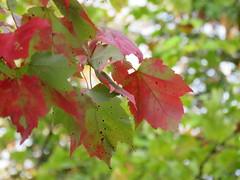 Autumn leaves at the Lower Falls (JJP in CRW) Tags: tahquamenonfalls stateparks michigan upperpeninsula autumnleaves autumn