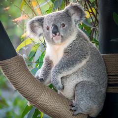 Little Leaf Eater [In Explore 11/18/17] (helenehoffman) Tags: conservationstatusvulnerable herbivore nature mammal australia sandiegozoo koala arboreal animal eucalyptus phascolarctoscinereus marsupial specanimal