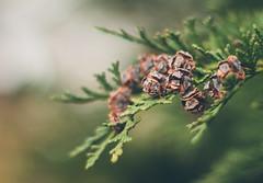 Thuja cone(s) (Inka56) Tags: stonerhymingzone macromondays cone thujacones macro bokeh conifers 7dwf