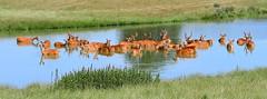 Swamp deer (gillybooze (David)) Tags: ©allrightsreserved animal deer mammal water grass outside reflections swampdeer wildlife herd wild