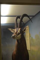 Chicago, IL - Grant Park - Field Museum - Sable Antelope (jrozwado) Tags: northamerica usa illinois chicago museum fieldmuseum naturalhistory grantpark sable antelope taxidermy diorama