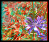 The Lavender Bed 1 - Anaglyph 3D (DarkOnus) Tags: pennsylvania buckscounty huawei mate8 cell phone 3d stereogram stereography stereo darkonus closeup macro insect hoverfly hoverflies insecthumpday hump day wednesday sex mating humping coitus coupling hihd ihd lavender bed flower chicory anaglyph