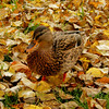 Amonst the Leaves (Clare-White) Tags: bird duck feathers leaves autumn yellow one nature beak outside square matchpointwinner mpt594