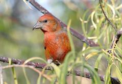 Red Crossbill -- Male (Loxia curvirostra); Catalina Regional Park, Arizona [Lou Feltz] (deserttoad) Tags: nature arizona red mountain animal bird fauna wildbird songbird crossbill