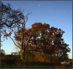 Under The Autumn Moon. (Picture post.) Tags: landscape nature green autumn oak dead moon bluesky paysage arbre trees wood sunlight shadows morning