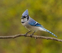Baby Blue (Slow Turning) Tags: cyanocittacristata bluejay bird perched tree branch twig stick autumn southernontario