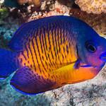 Two-spined Angelfish - Centropyge bispinosus thumbnail