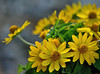 Melampodium Morning (ACEZandEIGHTZ) Tags: melampodium yellow nikon d3200 closeup blossoms blooming bokeh coth5 coth doublefantasy floral thebestofmimamorsgroups excellentsflowers