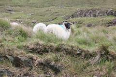 IMG_3297 (avsfan1321) Tags: ireland killaryfjord countygalway countymayo connemara wildatlanticway sheep