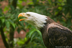 Screaming Bald Eagle [explored] (Alexandre D_) Tags: canon eos 70d pairidaiza belgium belgique zoo bird birds birdofprey raptor rapace oiseau oiseaux feathers beak bec colors color colorful couleur colour colours couleurs white yellow eyes eye nature natural naturallight availablelight light outdoor outside sigma sigma120400mmf4556oshsm 120400mm eagle bald baldeagle scream haliaeetus leucocephalus haliaeetusleucocephalus pygargueàtêteblanche pygargue animal animals animalia aves aguila weiskopfseeadler vögel greifvogel brown green threes leaves beautiful bokeh inexplore explored explore bokehlicious dof depthoffield