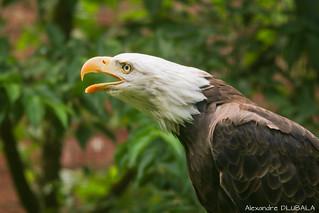 Screaming Bald Eagle [explored]