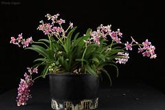 Sarcochilus Dove 'Good' x Cherie 'Doppled' (Harlz_) Tags: sarcochilus hybrid orchid cheriedoppled dovegood flower bloom