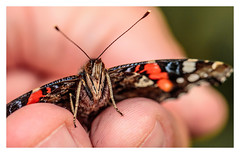 #MacroMondays #Fingertips (The all seeing i) Tags: macromondays fingertips theme butterfly outdoors 2017 nature wildlife