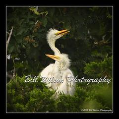 babies (wildlifephotonj) Tags: juvenileegrets egret egrets wildlifephotographynj naturephotographynj wildlifephotography wildlife nature naturephotography wildlifephotos naturephotos natureprints birds bird wadingbirds