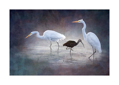Two Great Egrets and a WF Ibis ~ Sharing Space (Johnrw1491) Tags: essay wildlife art egrets ibis ibises birds digital textures painterly nature