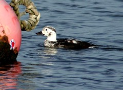Long-tailed Duck 17.11 (ericy202) Tags: longtailedduck buoy clangulahyemalis brancasterstaithe