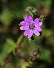 Wild Flower (Hugo von Schreck) Tags: hugovonschreck macro makro flowwer blume blüte wildblume wildflower canoneos5dmarkiii