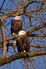 """""""E"""" is for Eagles (Wes Gibson) Tags: americanbaldeagle mississippiriver lockanddam14 tree river bird leclaire geographicfeatures iowa"""