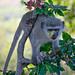 Vervet monkey with pollen