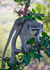 Vervet monkey with pollen (NettyA) Tags: 2017 africa krugernationalpark southafrica animal juvenile safari travel vervetmonkey wildlife pollen face monkey