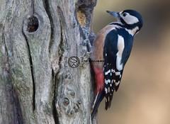 Woodpecker (simon.williams28) Tags: birds wildlife northeast twitcher woodland woodlandbirds gardenbirds gosforthparknaturereserve natture nature naturereserve