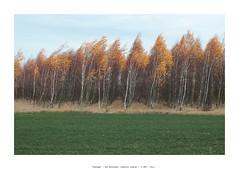 Plantage (Tho. Z) Tags: trees autumn fall leaves birch birches birchtree birken plantage leipzigertieflandsbucht beileipzig november herbst landkreisleipzig stormy windy forest