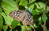 Ideopsis similis, リュウキュウアサギマダラ (yuyugreen) Tags: japan osaka 日本 大阪 butterfly 蝶 insect 昆虫 虫