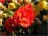 Red and Yellow . (** Janets Photos **) Tags: uk flowers plants flora begonias nature red yellow