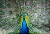 Showdown.jpg (Darren Berg) Tags: australia melbourne peacock feathers plume plumage blue teal turquiose avian fan strut chcurchill island