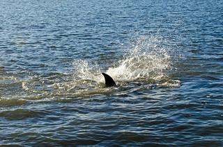 Dolphin Fishing DSC_0522_edited-1