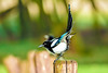 on your marks (Paul Wrights Reserved) Tags: magpie bird bokeh birding birds beautiful birdphotography birdwatching onyourmarks