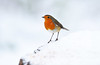 Robin (Alex Hannam) Tags: snow weather leicester england uk swithlandwoods wildlife nature birds
