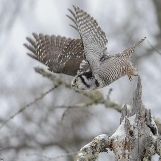 Northern Hawk Owl-45965.jpg