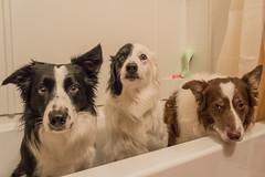 Pre-Bath Blues (Crawford Canines) Tags: bath bordercollies bathtime bathtimedrama hatebaths bathing bathtub dogs canines animals mammal indoors alert unhappy