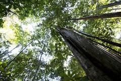 Formas selváticas (ramosblancor) Tags: naturaleza nature paisajes landscape bosques forests árboles trees bosquetropicallluvioso tropicalrainforest selva jungle terrafirme amazonía amazonia brasil brazil biodiversidad biodiversity