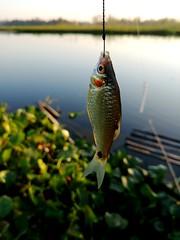 পুটি মাছ Puntius sophore (অ্যালকেন টুনি) Tags: puntiussophore lgg6 g6 lg fish