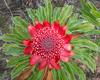 Waratah flower, Telopea speciosissima (Tindo2) Tags: camera:model=ilce6000 camera:make=sony exif:make=sony geocountry exif:aperture=ƒ10 exif:focallength=29mm exif:isospeed=400 exif:model=ilce6000 exif:lens=e1670mmf4zaoss telopeaspeciosissima waratah telopea australia bluemountains newsouthwales