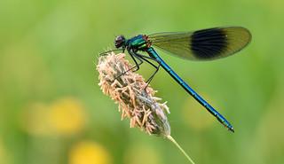 Banded Demoiselle (Calopteryx splendens).
