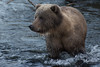 Kodiak Bear (wyrickodiak_9) Tags: kodiak alaska brown bear grizzly sow river water island mammal wildlife predator apex